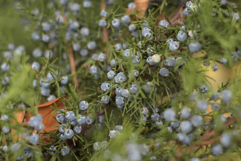 juniper berries used in aromatherapy training