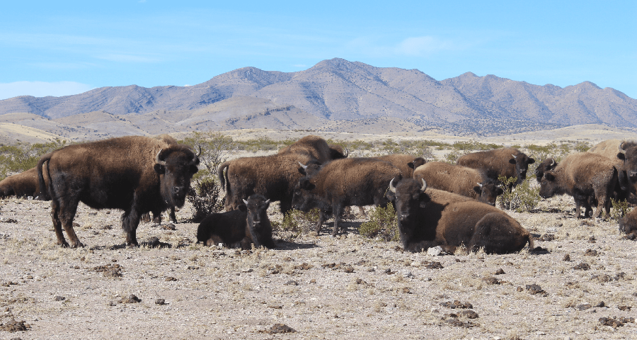 Special Bison Round-Up Tour