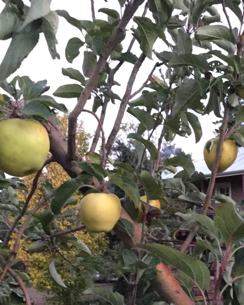 Apple Tree Grafting Workshop